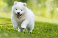 Cucciolo samoiedo che corre in un prato fotografia stock libera da diritti