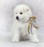 Cucciolo samoiedo con il nastro Fotografia Stock