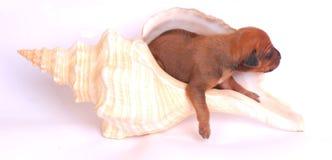 Cucciolo in seashell gigante fotografia stock