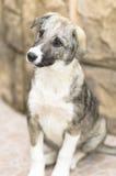Cucciolo senza casa Fotografia Stock