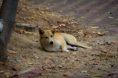Cucciolo senza casa Foxlike immagine stock libera da diritti