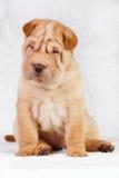 Cucciolo shar di pei del cane immagine stock