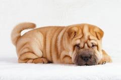 Cucciolo shar di pei del cane fotografia stock libera da diritti