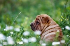 Cucciolo shar di pei della bella testarossa Immagine Stock