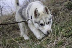 Cucciolo siberiano del husky Immagine Stock Libera da Diritti