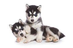 Cucciolo siberiano del husky Fotografie Stock Libere da Diritti