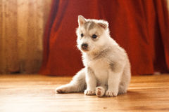 Cucciolo siberiano del husky Immagine Stock