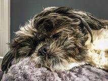 Cucciolo sonnolento Immagine Stock Libera da Diritti