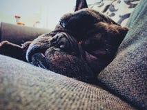Cucciolo sonnolento Fotografie Stock Libere da Diritti