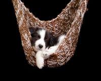 Cucciolo sonnolento del Border Collie Fotografia Stock
