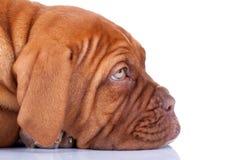 Cucciolo sonnolento di Dogue de Bordeaux Fotografia Stock Libera da Diritti