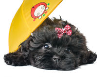 Cucciolo sotto un ombrello Fotografia Stock