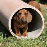 Cucciolo splendido del bassotto tedesco nel giardino Immagine Stock