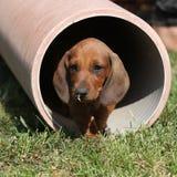 Cucciolo splendido del bassotto tedesco nel giardino Fotografie Stock