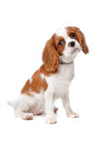 Cucciolo sprezzante dello Spaniel di re Charles Fotografia Stock