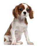 Cucciolo sprezzante dello Spaniel di re Charles, 3 mesi Fotografie Stock Libere da Diritti