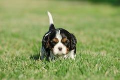 Cucciolo sprezzante dello Spaniel di re Charles Fotografia Stock Libera da Diritti