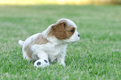 Cucciolo sprezzante dello Spaniel di re Charles Fotografie Stock Libere da Diritti