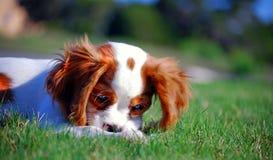 Cucciolo sprezzante dello Spaniel di re Charles Immagini Stock Libere da Diritti