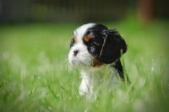 Cucciolo sprezzante dello Spaniel di re Charles Immagini Stock