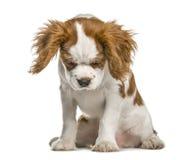 Cucciolo sprezzante di re Charles Spaniel che guarda giù Fotografia Stock