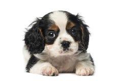 Cucciolo sprezzante di re Charles Spaniel (vecchio 8 settimane) Fotografie Stock Libere da Diritti