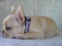 Cucciolo stanco del bulldog francese fotografia stock libera da diritti