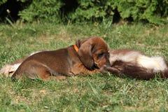 Cucciolo stupefacente del bassotto tedesco che risiede nel giardino Immagini Stock