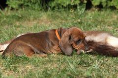 Cucciolo stupefacente del bassotto tedesco che risiede nel giardino Immagine Stock Libera da Diritti