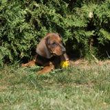 Cucciolo stupefacente del bassotto tedesco che risiede nel giardino Immagini Stock Libere da Diritti