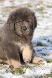 Cucciolo stupefacente del mastino tibetano che vi esamina Fotografia Stock
