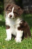 Cucciolo stupefacente del pastore australiano che si siede nell'erba Fotografia Stock Libera da Diritti