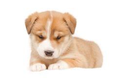 Cucciolo su fondo bianco immagine stock