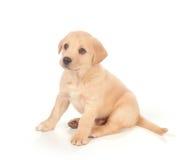 Cucciolo su priorità bassa bianca Fotografia Stock