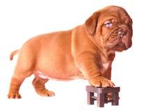 Cucciolo su una presidenza del giocattolo Fotografie Stock Libere da Diritti