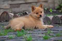 Cucciolo sull'erba e sui ceppi Immagine Stock Libera da Diritti