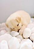 Cucciolo sveglio Immagini Stock