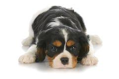 Cucciolo sveglio Fotografia Stock Libera da Diritti
