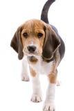 Cucciolo sveglio fotografie stock libere da diritti