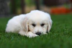 Cucciolo sveglio che abbatte sull'erba Immagine Stock Libera da Diritti