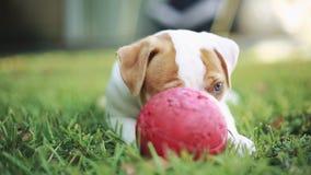 Cucciolo sveglio che mangia erba e che gioca con la palla Bulldog americano stock footage