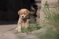 Cucciolo sveglio in Cina Fotografia Stock Libera da Diritti