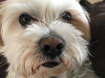 Cucciolo sveglio con i grandi occhi di Brown Fotografia Stock
