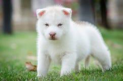 Cucciolo sveglio degli occhi azzurri fotografia stock
