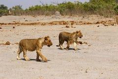 Cucciolo sveglio dei leoni magnifici Fotografie Stock