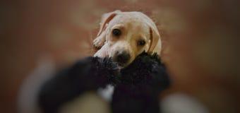 Cucciolo sveglio del bassotto tedesco che ottiene sonnolento fotografia stock