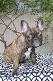 Cucciolo sveglio del bulldog francese con le allergie Immagini Stock