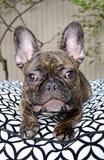 Cucciolo sveglio del bulldog francese con le allergie Fotografia Stock