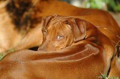 Cucciolo sveglio del cane Immagini Stock