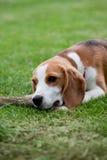 Cucciolo sveglio del cane da lepre Fotografia Stock